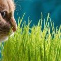 猫草は必要なのか その理由と与える際の注意点