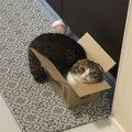 箱が好きな猫さん!小さい箱にどうやって入る?