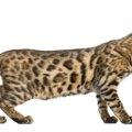 ベンガル猫の体重と体型維持のためにできること
