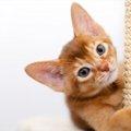 アビシニアンの子猫の飼い方や注意すべきこと