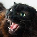 猫が急に攻撃的になる病気『激怒症候群(レージ・シンドローム)』の症…