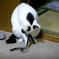 猫、オモチャに夢中すぎて背後から襲われる