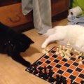 猫同士のチェス対決!独自ルールで勝敗は?
