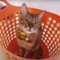 入らずにはいられない?洗濯カゴに吸い込まれていく猫さん