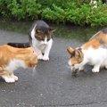 「お魚は誰にも渡さにゃい!」三毛猫ちゃん大奮闘!