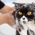 猫シャンプーを手早く済ませる5つの方法