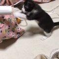 ドライヤーと戦う猫ちゃん