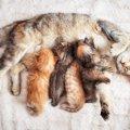 猫の陣痛の様子や時間、出産前の兆候について