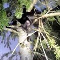 木の高所に生後6ヵ月の子猫…鳴き声を頼りに決死の救出劇!