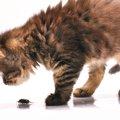 """猫がいても""""ブラックキャップ""""使って大丈夫!食べた時の対処法"""