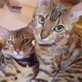 しあわせ~!仲良しなベンガル猫の夫婦