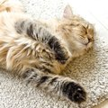 またたびを猫に与えた時の効果や使う時の注意点、おすすめの使い方まで