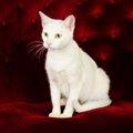 カオマニー、それは白く美しいタイの猫なのです!