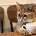 これぞ真の猫カフェ?コーヒーを嗜んでいるようなミヌエットが大人気♡
