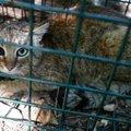 コルシカ島で新種の猫発見か!?謎多き「キツネネコ」について