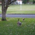 ダメージゼロ!!鳥の攻撃もまるで気づかない超鈍感な猫ちゃん