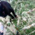 遥か高いモミの木で鳴き叫ぶ黒猫…愛の輪が救助に繋がる!