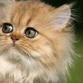 チンチラゴールデンってなんニャ?甘えん坊なもふもふ猫!