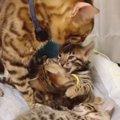 子猫のお世話をする優しいお父さん猫!
