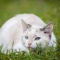 ラムキン猫はどんな特徴や性格?珍しい品種ラムキンとは