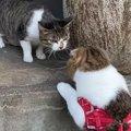 気になるー!お散歩で出会った野良猫に積極的な猫ちゃん!