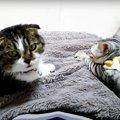 フミフミをする子猫とフミフミを我慢する先輩猫!