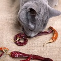 猫が唐辛子を食べてはいけない理由と対処法