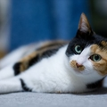 三毛猫の性格について