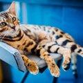 ベンガルのブリーダー おすすめの猫舎をご紹介