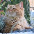 ブリテッシュロングヘアーは、もっふもふ度高しの注目猫種☆