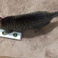 全盲の猫のためにおもちゃを手作り
