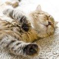 猫はいびきをかく?原因と注意すべき病気