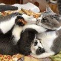 猫が飼い主にしている『降参ポーズ』4選