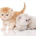 エキゾチックショートヘアの子猫の飼い方や気をつけること