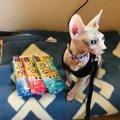 毛のない猫スフィンクスは何色がいる?黒や三毛など毛色についてご紹介