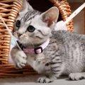 おもちゃをくわえて歩く姿がかわいい子猫ちゃん♡