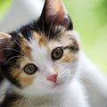 猫の目の色がカラフルな理由