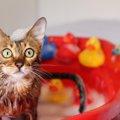 猫をお風呂に入れる頻度はどのぐらい?入れる時に注意する事