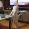 【着ぐるみ疑惑!?】姿勢が良すぎるニャンコ!