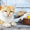 猫にとうもろこしを与える時の注意や正しい与え方