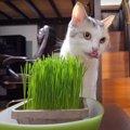 キャットグラスを食べた後にする猫ちゃんの癖とは?