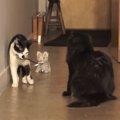 おみゃーさん変わった猫だニャ!?おもちゃの猫にタジタジな猫ちゃん