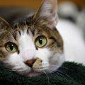 すぐに病院へ行くべき?愛猫の目が充血しているときにしなければなら…