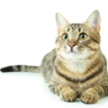 短毛の猫の特徴や性格、お手入れ方法について