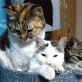 『心が優しい猫』がよくする仕草や行動5選
