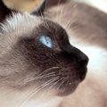 シャム猫の性格とその特徴について