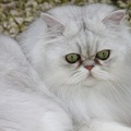 チンチラ猫の性格と特徴、値段やかかりやすい病気