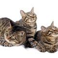 ドラゴンリーという猫の特徴や性格、飼い方について