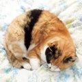 ニャンモナイト画像まとめ!丸まって眠るかわいい猫たち