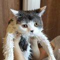 シャンプーをするべき猫の特徴3選!どのくらいの頻度でやるべき?正…